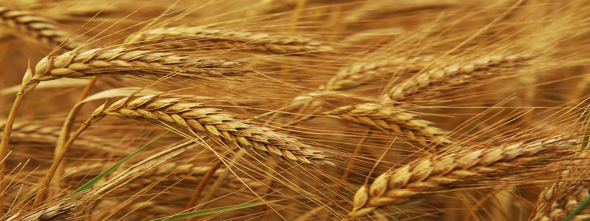 Da un chicco di grano, la Terra ha dato il Suo frutto